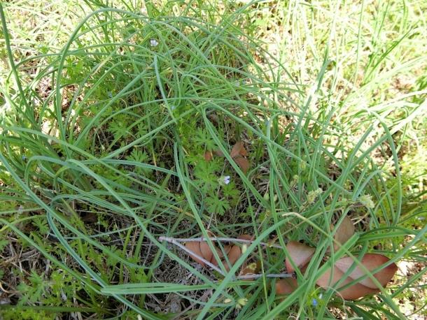 ノビル鱗茎生食