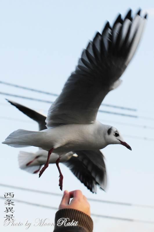 お堀の鴎(カモメ) 愛媛県西条市