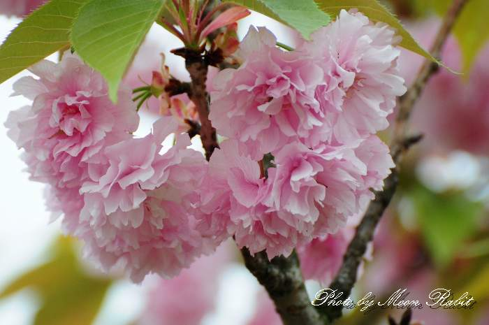 池田池公園の八重桜
