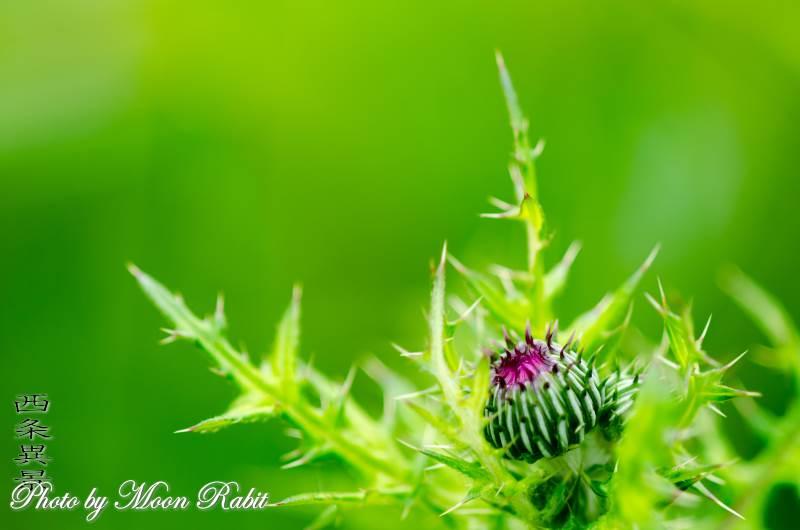 アザミ 愛媛県西条市緑町 4月の植物