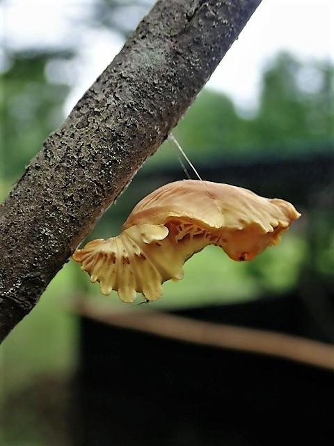 180617ジャコウアゲハ蛹