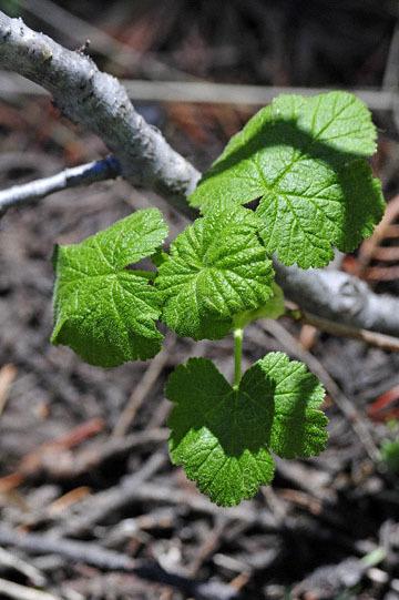 blog 56 Ochoco NF, McKay Creek, Forest Road #27, Sticky Currant (Ribes viscosissimum) 2_DSC2225-5.11.16.(1).jpg