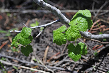 blog 56 Ochoco NF, McKay Creek, Forest Road #27, Sticky Currant (Ribes viscosissimum)_DSC2223-5.11.16.(1).jpg