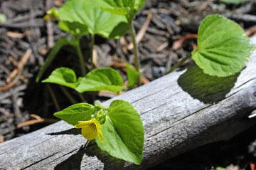 blog 56 Ochoco NF, McKay Creek, Forest Road #27, Stream Violet (Viola glabella) 2_DSC2240-5.11.16.(1).jpg