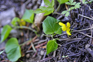 blog 56 Ochoco NF, McKay Creek, Forest Road #27, Stream Violet (Viola glabella)_DSC2238-5.11.16.(1).jpg