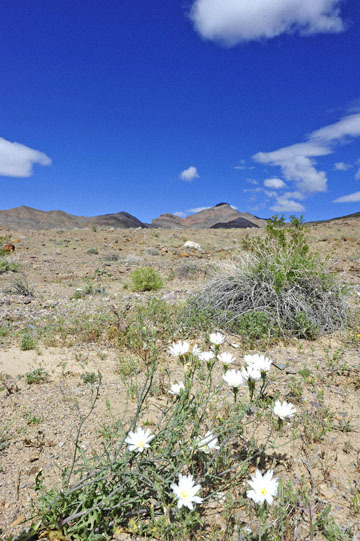 blog 14 Beaty, NV to Death Valley, CA~374W-190E, Corkscrew Peak, New Mexico Plumseed (Rafinesquia neo-mexicana), CA_DSC7767-5.23.17.jpg