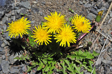 blog 56 Ochoco NF, McKay Creek, Forest Road #27, Dandelion_DSC2366-5.11.16.(1).jpg