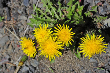 blog 56 Ochoco NF, McKay Creek, Forest Road #27, Dandelion_DSC2365-5.11.16.(1).jpg