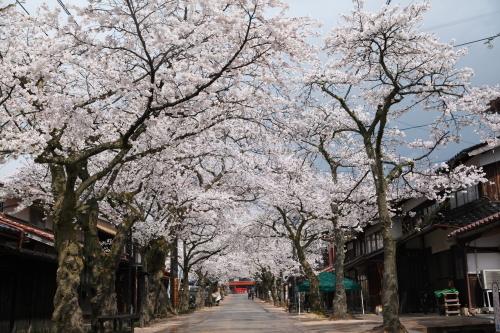桜旅_2018_11