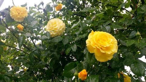 バラ黄色1