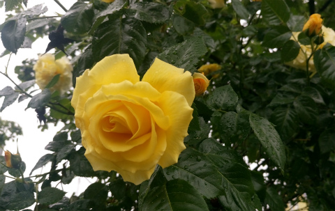 バラ黄色2