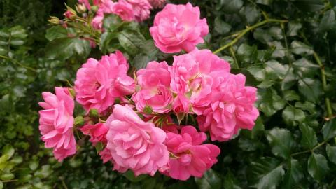 小さいピンクのバラ