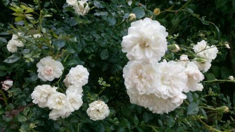 小さい白いバラ