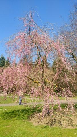 しだれ桜ピンク1