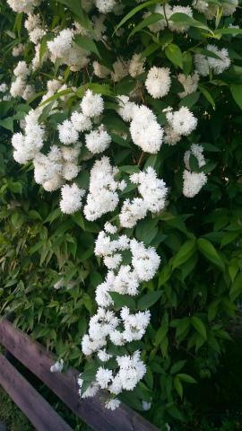 垣根の花、白