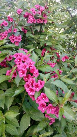 垣根の花、赤