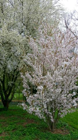 オカメちゃん桜1