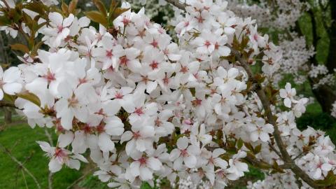 オカメちゃん桜3