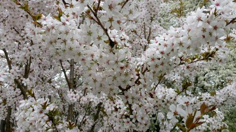 オカメちゃん桜4