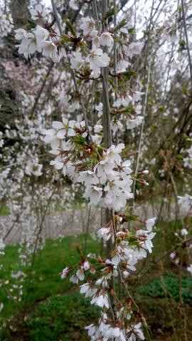 しだれ桜シロ2