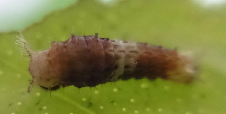 奄美大島産ナガサキアゲハ幼虫①2018