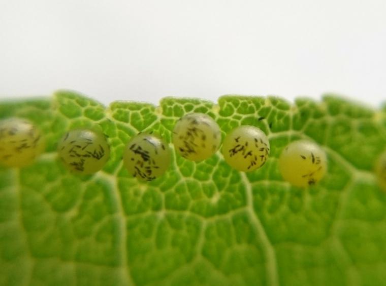 モンキアゲハ卵①