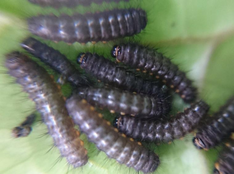 エゾヒメ2齢幼虫アップ2018