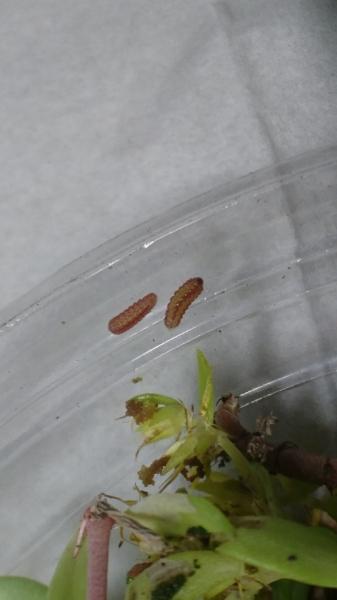 福岡県産クロクロツ幼虫2018