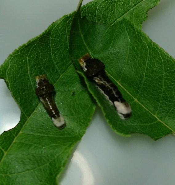 オナガアゲハ幼虫2018