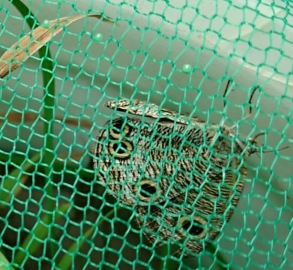 ウラナミジャノメ母蝶と卵2018