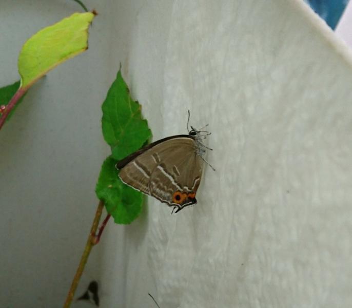 メスアカミドリ母蝶2018