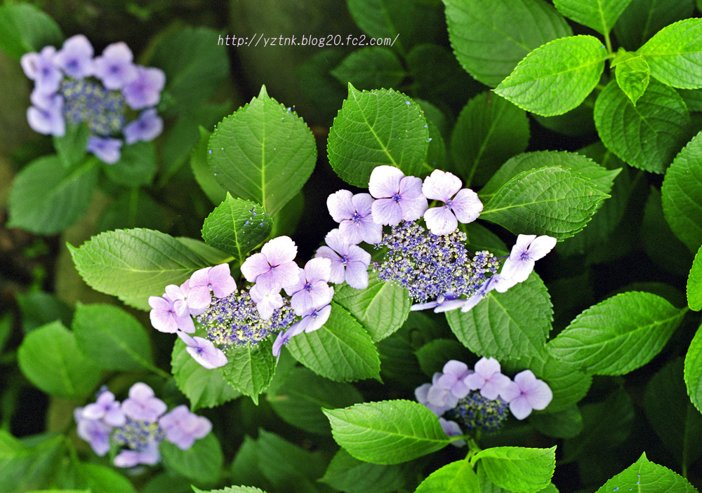 紫陽花(ネガ67)0