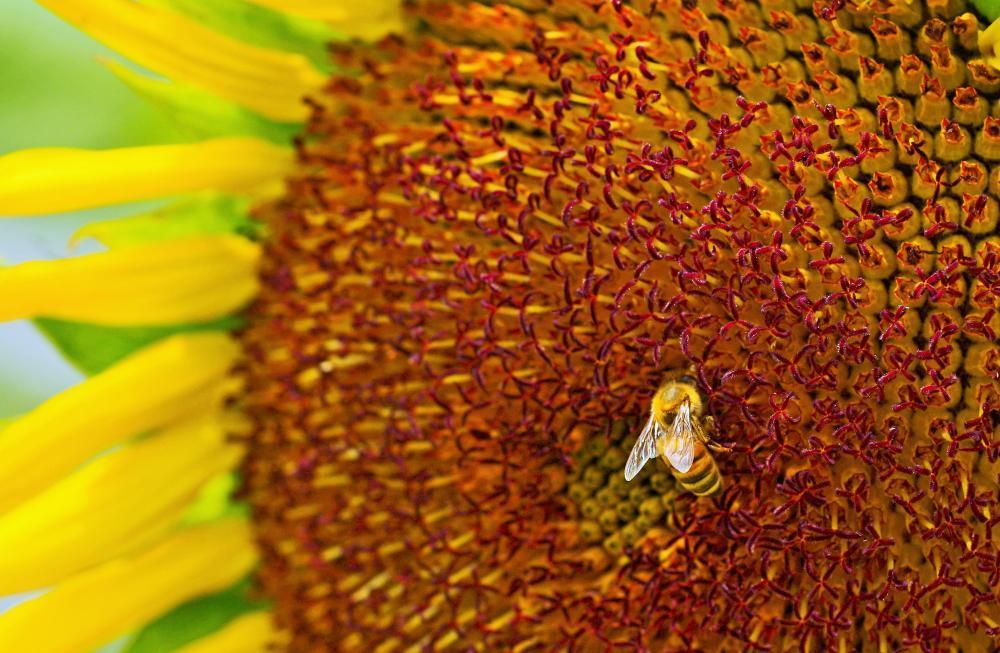 訪問者(ミツバチ)1