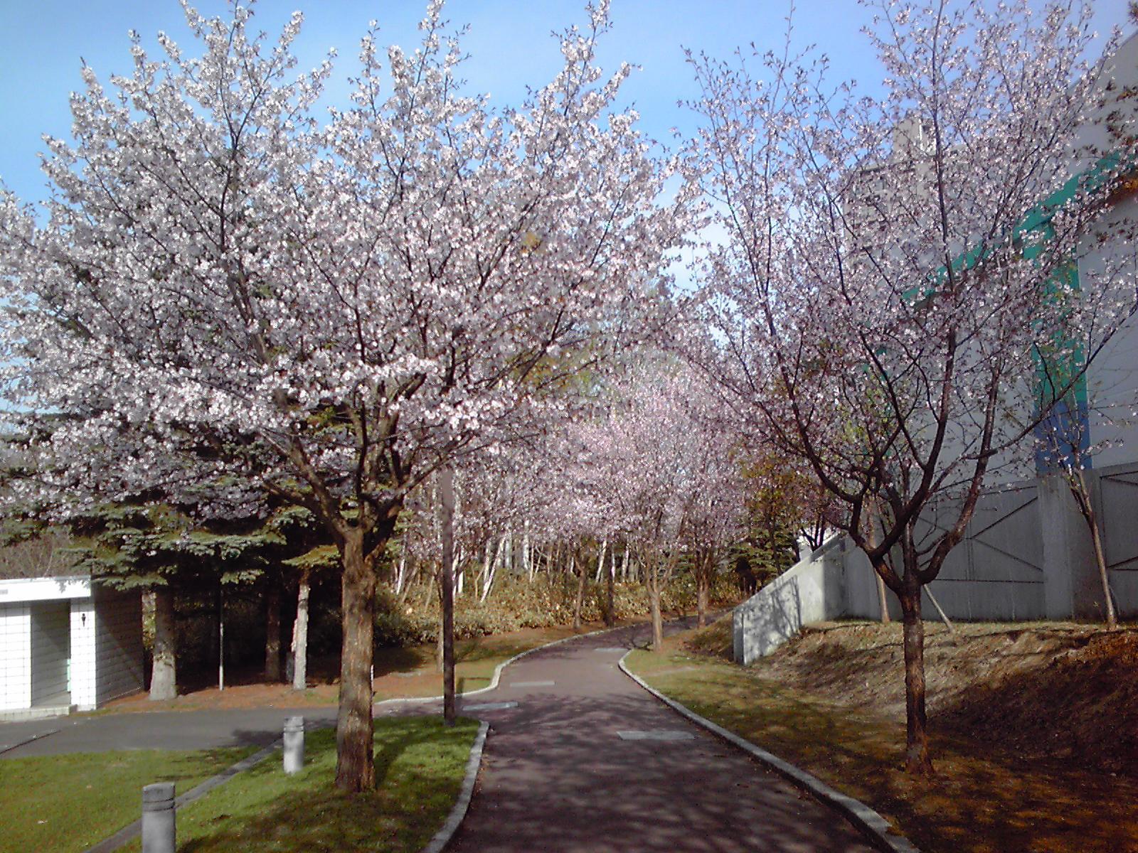 KC3V0056 桜