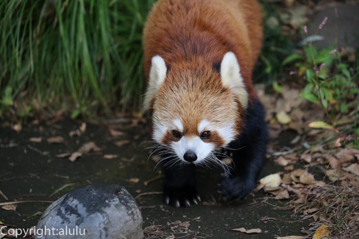 野毛山動物園 レッサーパンダ 画像