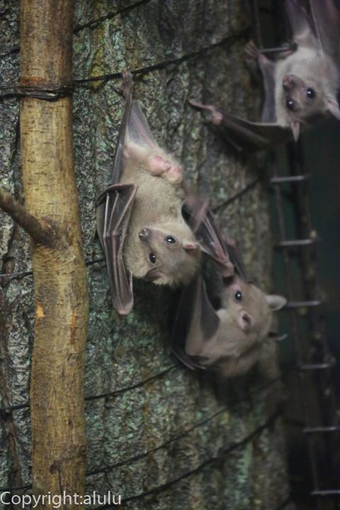 ルーセットオオコウモリ 動物写真