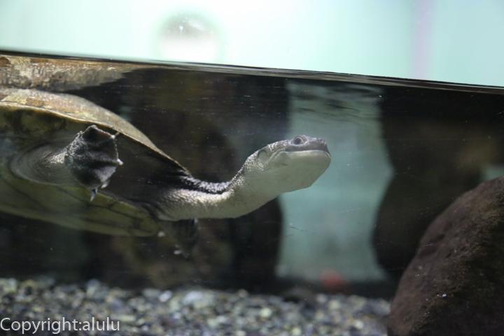 東山動物園 マツコードナガクビガメ 画像