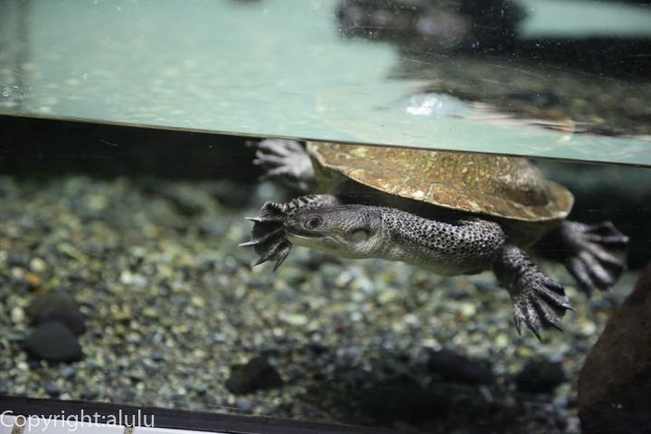 東山動物園 マツコードナガクビガメ