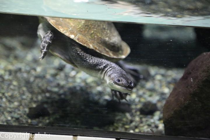 マツコードナガクビガメ 動物写真