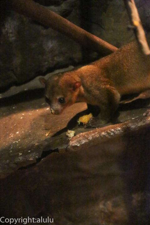 上野動物園 キンカジュー