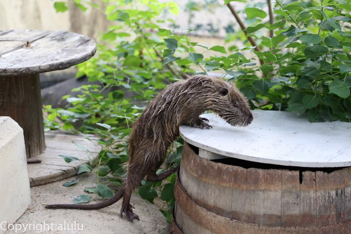 天王寺動物園 ヌートリア