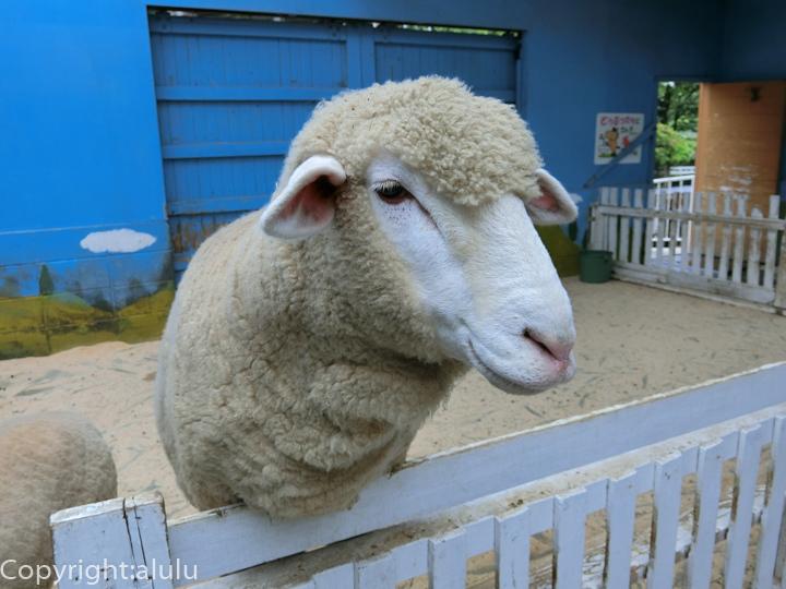 まかいの牧場 羊