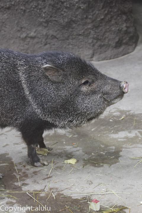 クビワペッカリー 動物写真