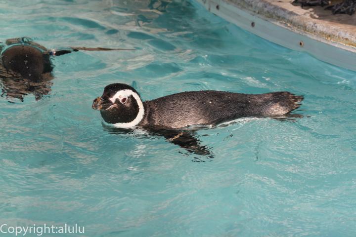 マゼランペンギン 動物写真