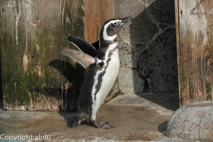 マゼランペンギン 画像