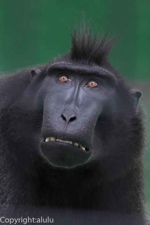 クロザル 動物写真