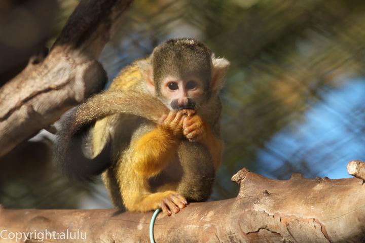姫路市立動物園 ボリビアリスザル