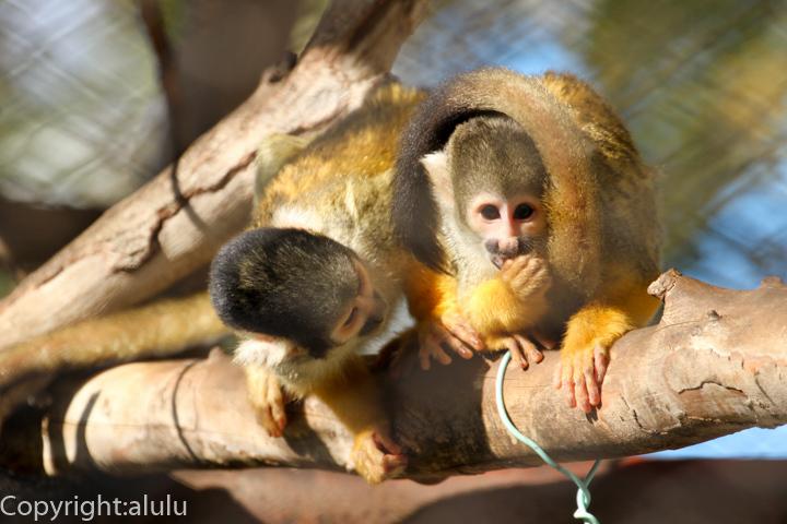ボリビアリスザル 動物写真