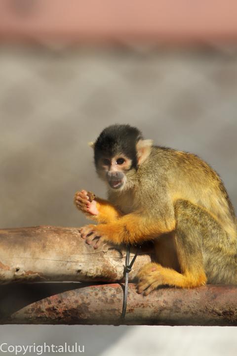 姫路市立動物園 ボリビアリスザル サル