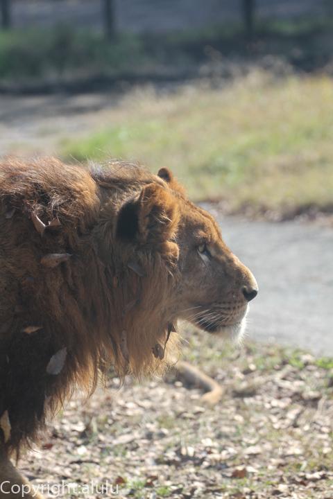 姫路セントラルパーク サファリ ライオン